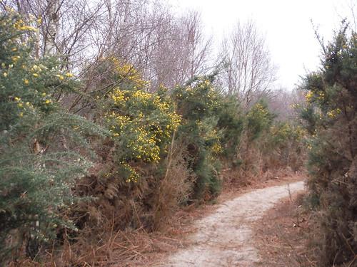 Highcomb Bottom, Path through Gorse