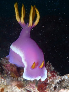 Pink Dorid Nudibranch Chromodoris bullocki