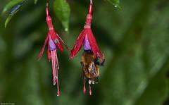 Moscardón nectareando en una flor de Chilco