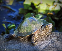 2017-03-24_P3240002_ Florida Pond cooter turtle,Crescent Lake