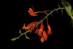 Dendrobium fulgidum 2017-03-13 01
