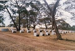 Hives among the Blue Gum at Moculta 1dec1989