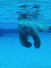 Polar Bear #Inuka