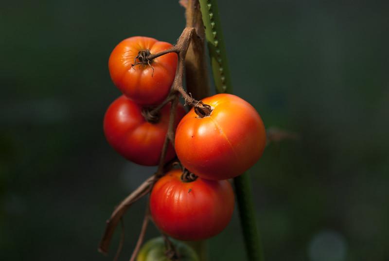 トマトtomatoes