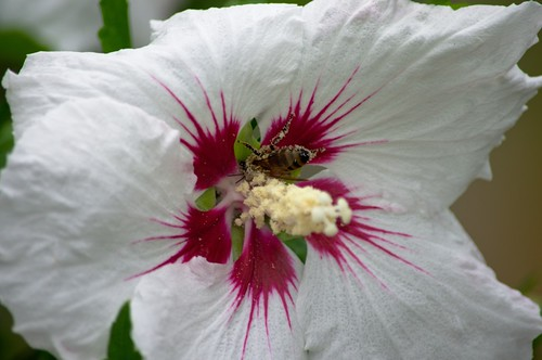 Honey Bee and Hibiscus