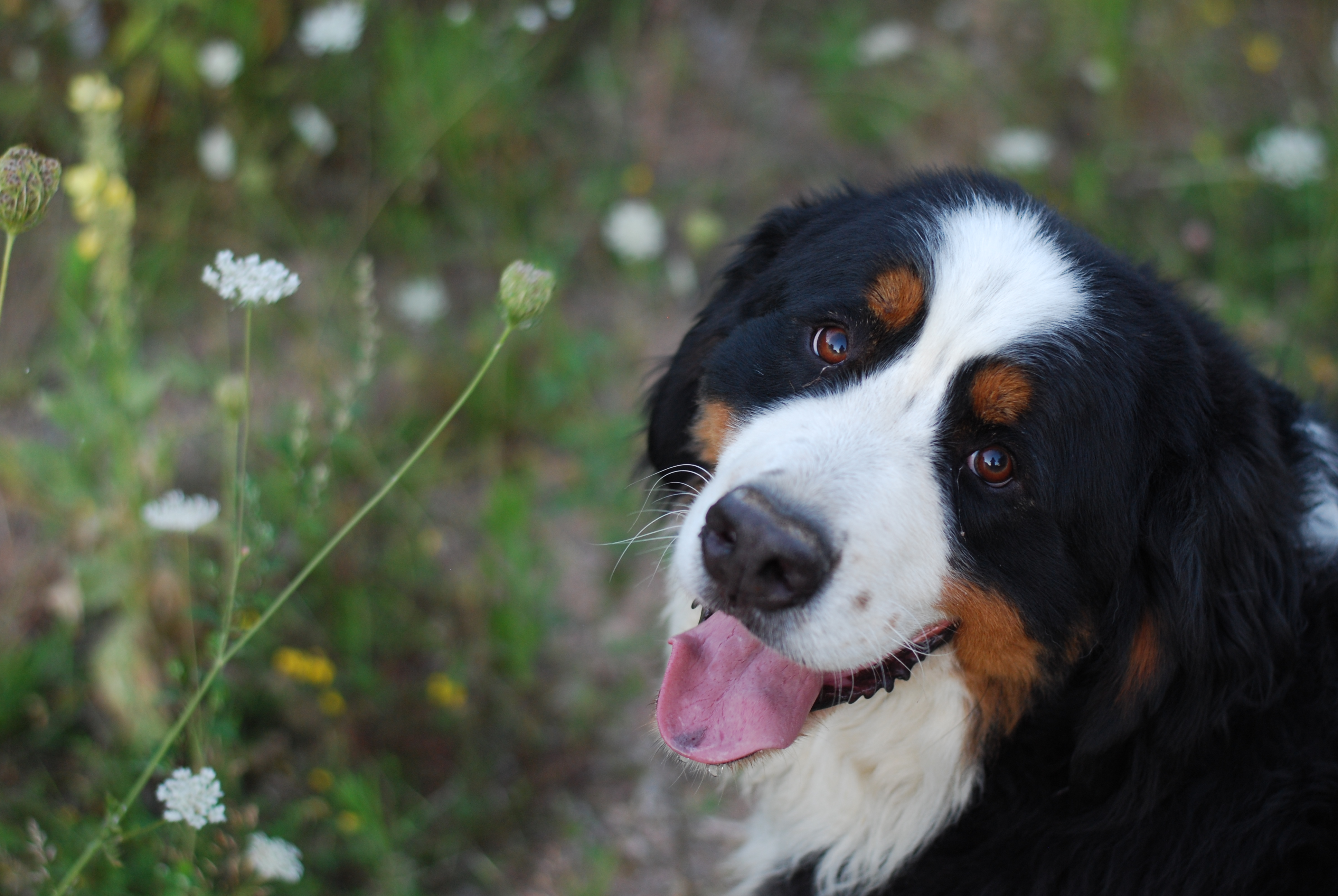 chambray and curls bernese mountain dog portrait