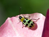 Spotted Cucumber Beetle (Diabrotica undecimpunctata) by kaeagles