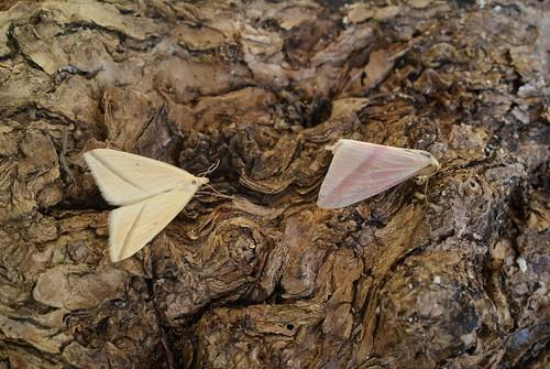 2 x Vestal (Rhodometra sacraria)