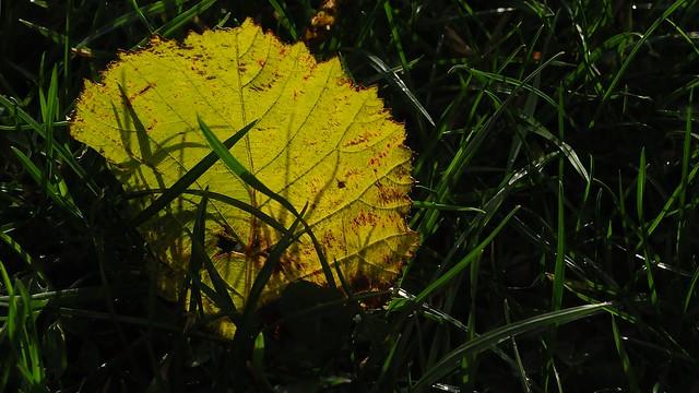 Herbstliches Pappel-Blatt im Gegenlicht; Erfde, Bargen (74)
