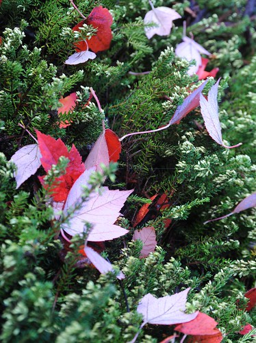 Red leaves on green heather, Microsoft, Bear Creek, Redmond, Washington, USA by Wonderlane