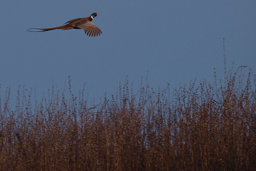Pheasant in flight Venus Pools 08122013 2