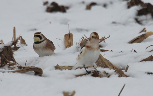 Horned lark and the snow bunting. by ricmcarthur