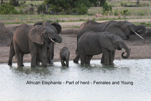 Elephants herd drinking water in Ruaha National Park during wildlife game drive