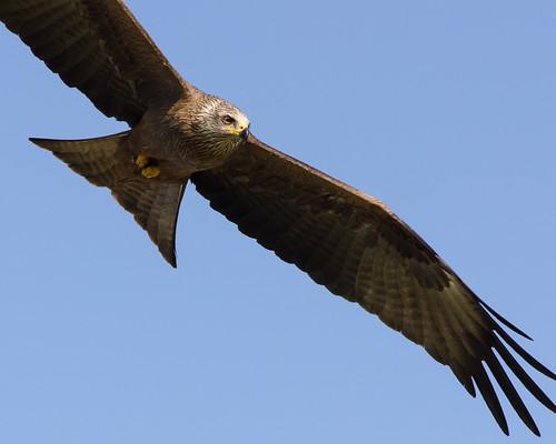 Black Kite Close Up