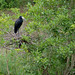 Small photo of African Openbill (Anastomus lamelligerus) on nest