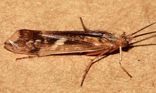 Trichoptera 11922