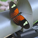 Small photo of Heliconius melpomene aglaope