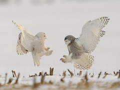 Snowy owl fight 3