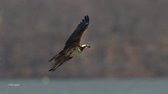 harrier(1.0), animal(1.0), hawk(1.0), bird of prey(1.0), wing(1.0), fauna(1.0), buzzard(1.0), accipitriformes(1.0), beak(1.0), bird(1.0), wildlife(1.0),