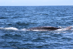 animal, marine mammal, sea, ocean, marine biology, grey whale, whales, dolphins, and porpoises,