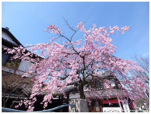Weeping cherry tree #04