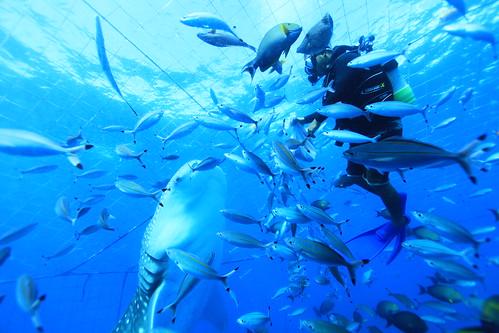 2013.07.31日本沖繩海上箱網圈養鯨鯊共游活動38