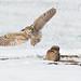 Burrowing Owls by Shepherd