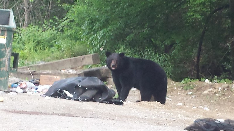 Bear we saw at trash dumpster this evening. 05/23/2014.