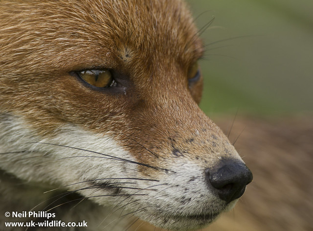 Fox close up-2