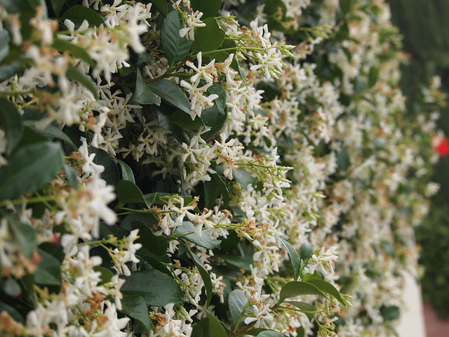Garden Alphabet: Star Jasmine (Trachelospermum jasminoides)