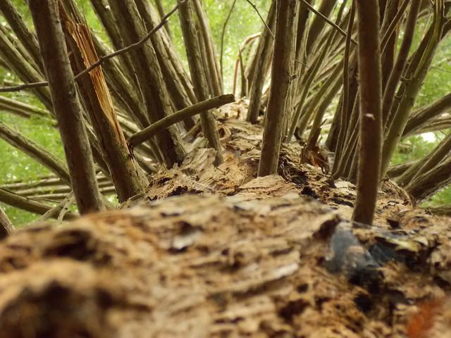 Una secuoya / A sequoia