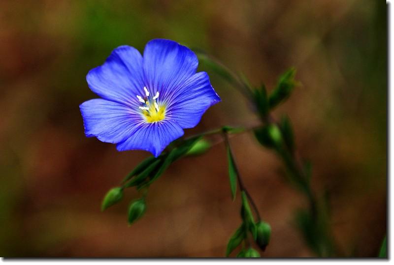 Wild Blue Flax 2