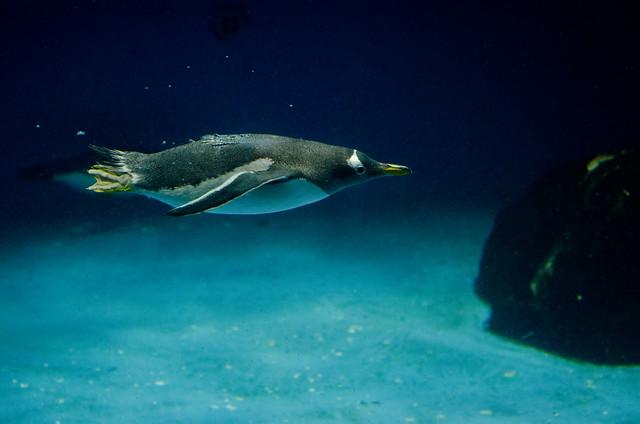 ジェンツーペンギン Gentoo penguin