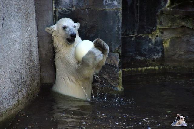 Eisbär Fiete im Zoo Rostock 11.07.2015  011