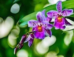 Orchids,  Miltonidium, Carnivale Rio,  NYBG  (1 of 1)