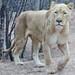 La belle aux yeux bleus / Zoo Amnéville 2013- 017 ©mfld57