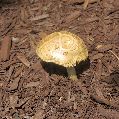 Golden mushroom by Coyoty
