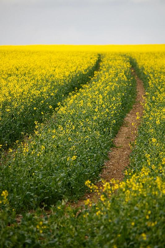 rapeseed-field2