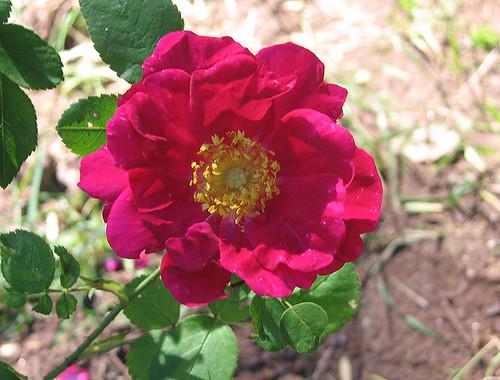 "Gallica Rose ""James Mason."" by Leenechan"
