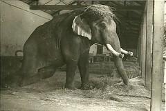 indian elephant(0.0), rhinoceros(0.0), black-and-white(0.0), wildlife(0.0), animal(1.0), elephant(1.0), zoo(1.0), elephants and mammoths(1.0), african elephant(1.0), fauna(1.0), monochrome(1.0),