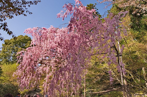 【写真】2013 桜 : 龍安寺/2020-01-22/IMGP9834