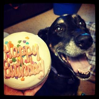 She finally got her cake! #dogstagram #birthday #cake #dobermanmix #smile