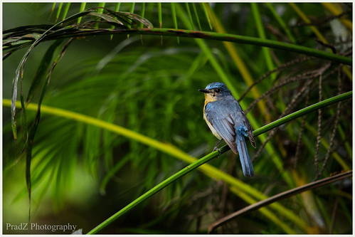 Tickell's Blue Flycatcher by PradZ photography