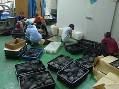 海巡署聯合查緝隊2013/8/24查獲走私食蛇龜與柴棺龜,林務局接手處理。照片來源:林務局