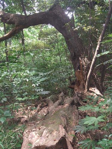 国立科学博物館附属自然教育園 朽ちた樹木