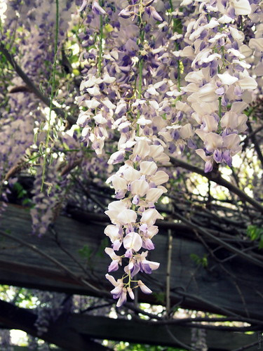 Wisteria - fading out