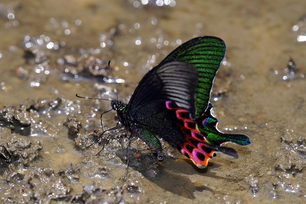 鳳蝶屬雙環翠鳳蝶-3