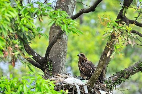 黑鳶以細樹枝及垃圾構成其具有特色的鳥巢。( 圖片攝影:謝季恩)。