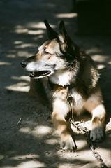 Farm hound