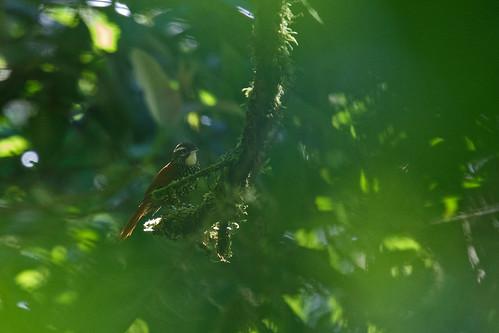 Grey-breasted Wood Wren